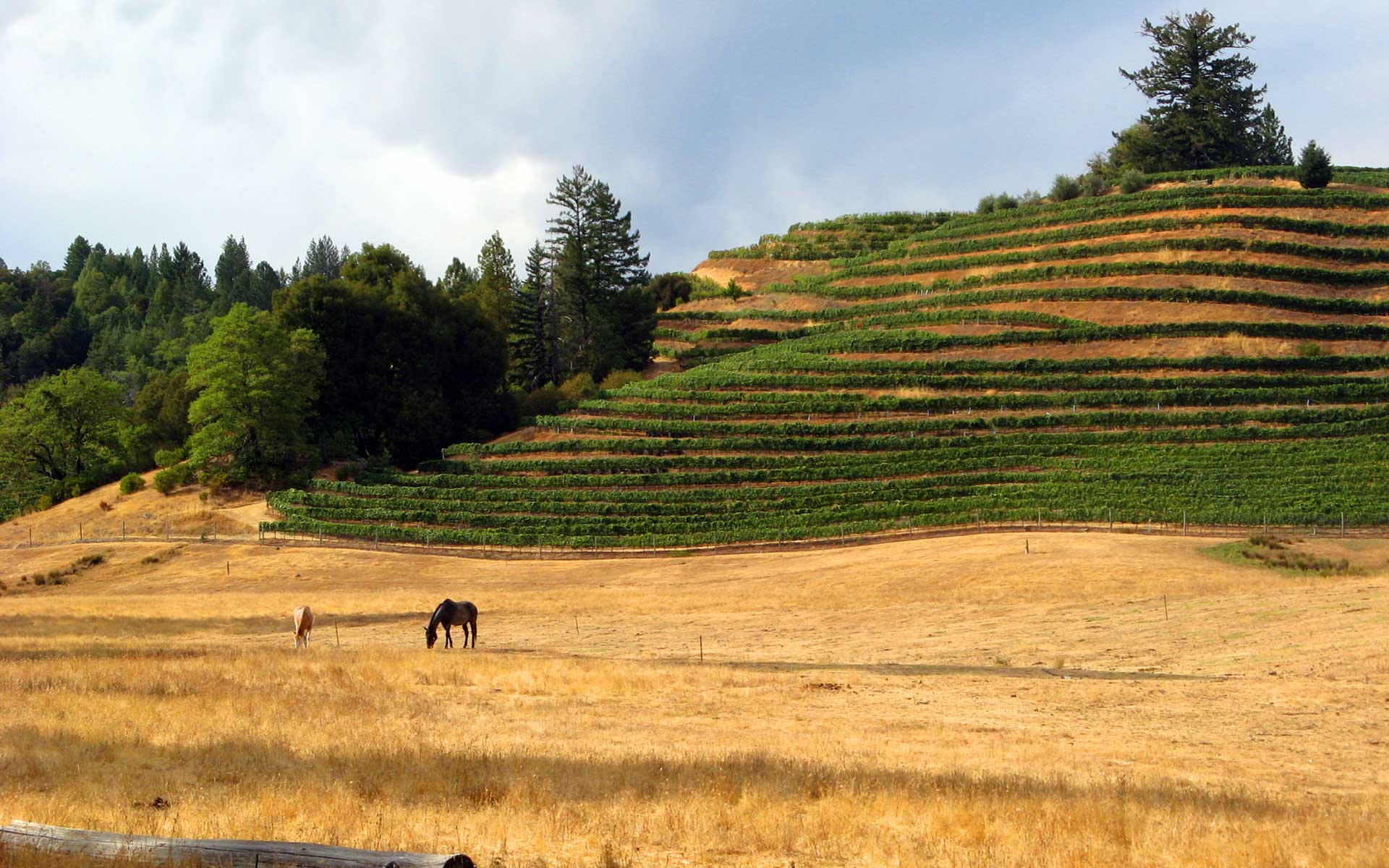 Hillsides: Terraced vinerows with horses grazing in the foreground