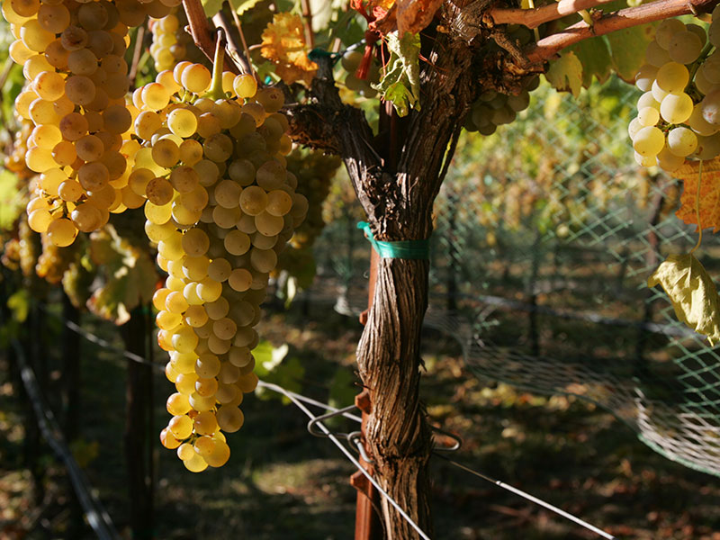 Alder Springs Chardonnay grapes on vine