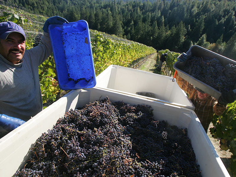 Alder Springs crew harvesting grapes in the vineyard